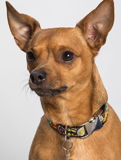 Jack, kleiner brauner Hund